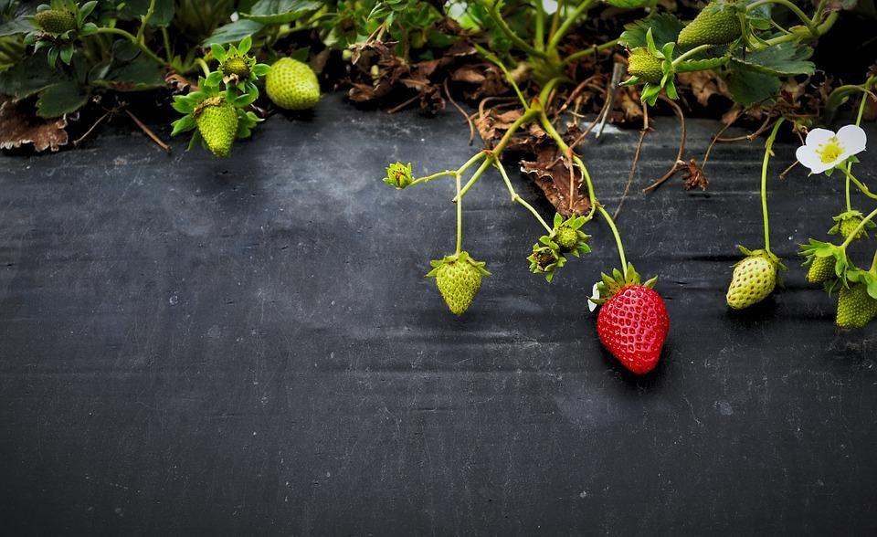 झांसी का Strawberry festival लाएगा किसानों के लिए मुनाफा