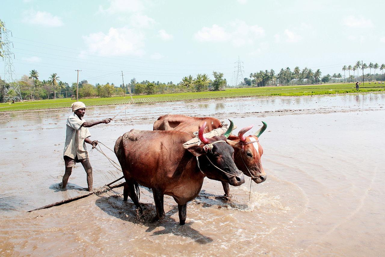  किसान ( Wikimedia commons )